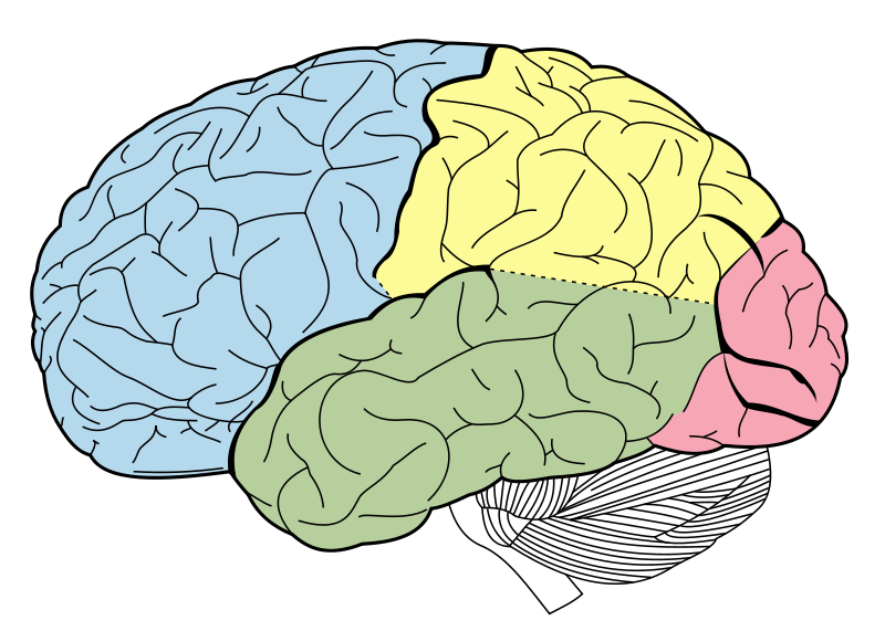 Learn about the Brain